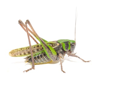 Grasshopper Close-up Isolated on White Background photo