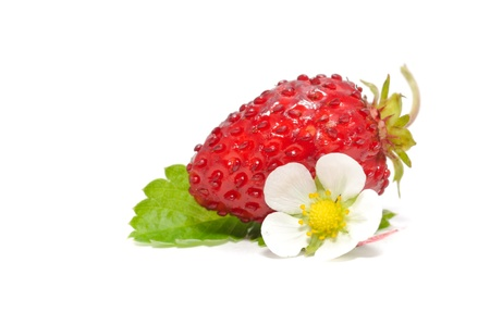 Wild Strawberry with Flower and Leaf Isolated on White Background photo