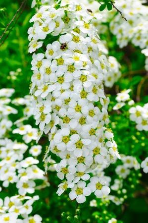 umbel: White Spiraea (Meadowsweet) Flowersanther Stock Photo