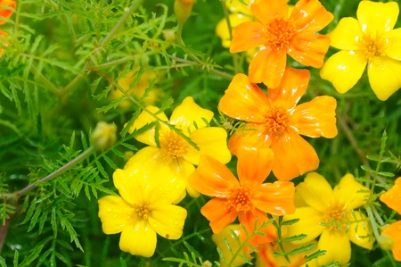 flower close up: Marigold (Tagetes) Flowers on Flower Bed