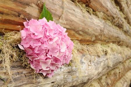 Pink Hydrangea Flowers on Wooden Wall photo
