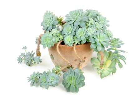 Echeveria Elegans in Flower Pot Isolated on White Background Stock Photo - 10547492