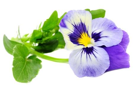 Pansy viola isolato su sfondo bianco