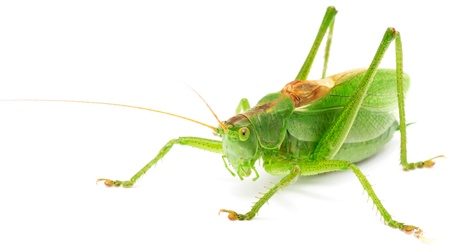 Grasshopper Isolated on White Background Stock Photo - 10761914