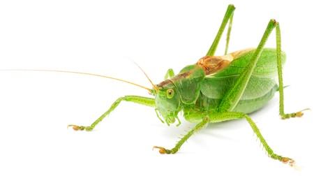 Grasshopper Isolated on White Background Stock Photo - 10761914