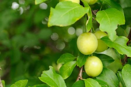 alycha: Cherry Plums on Branch