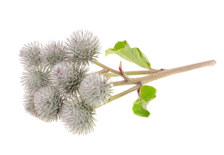 burdock: Cluster of Greater Burdock Isolated on White Background