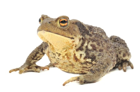 anura: Brown Frog Isolated on White Background