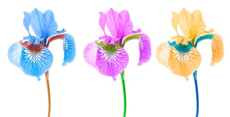 purple iris: Creative Multicolored Iris Flowers on White Background Stock Photo