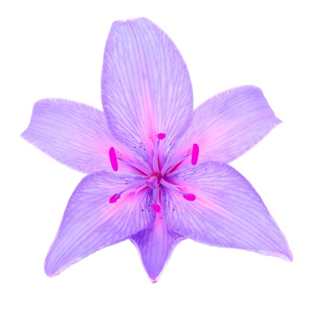 Beautiful Purple Lily Isolated on White Background photo