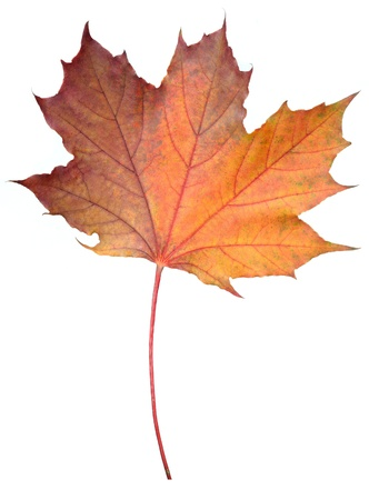 Fallen Maple Leaf Isolated on White Background Stock Photo - 11015905