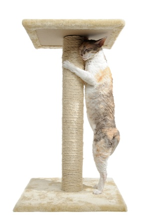 calico: Cornish Rex Cat and Scratching Post Isolated on White Background Stock Photo