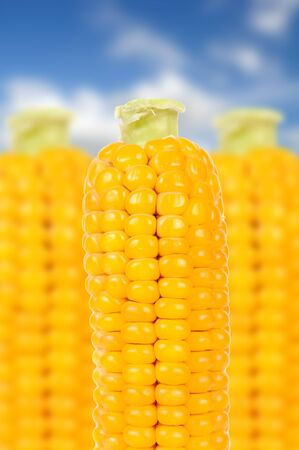 spadix: Corn on the Cobs over Blue Sky Background Stock Photo