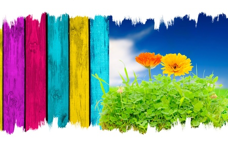 Calendula Flowers in Grass over Blue Sky Background and Multicolored Wooden Fence photo