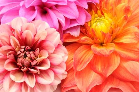 달리아: 아름다운 여러 가지 빛깔 달리아 꽃의 근접 꽃다발