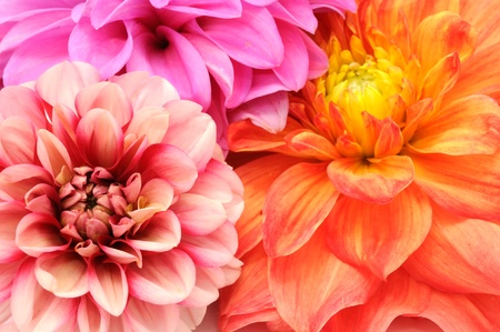 flower close up: Bouquet of Beautiful Multicolored Dahlia Flowers Close-up