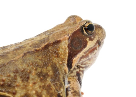 anura: Large Brown Frog on White Background Stock Photo