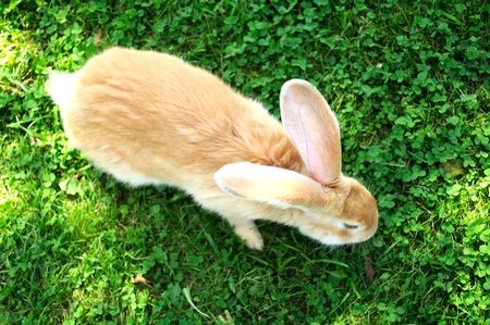 grass  plan: Red Rabbit in Grass (Top View) Stock Photo
