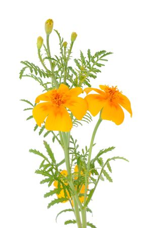 Marigold (Tagetes) Flowers with Buds on White Background photo