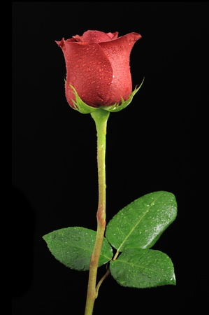 Beautiful Red Rose with Dew Drops on Black Background photo