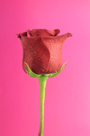 Beautiful Red Rose with Dew Drops on Romantic Pink Background Stock Photo