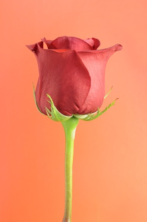 Beautiful Red Rose on Orange Background photo