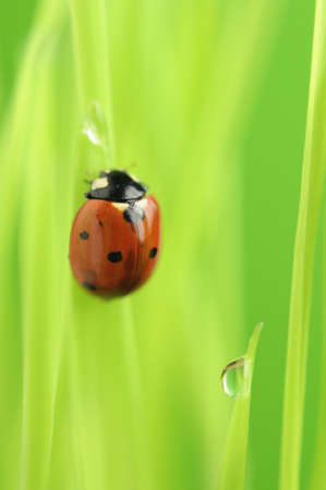 Ladybird (Ladybug) Crawling on Green Grass with Dew Drops photo