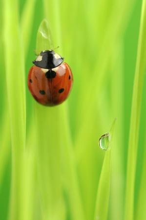 coccinellidae:  Ladybug (Ladybird) Crawling on Green Grass with Rain Drops