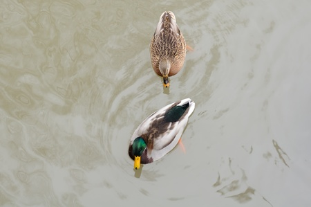 Couple of Mallard Duck and Drake Swimming in the Lake Stock Photo - 11633890