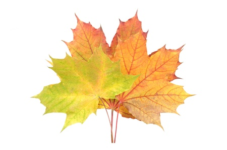 Yellow, Red and Green Fallen Autumn Leaves Isolated on White Background Stock Photo - 11804955