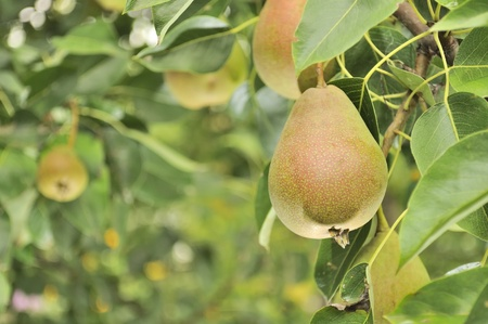 Pears Growing on Pear Tree photo