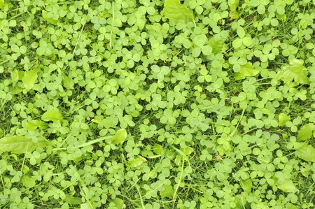 Green Shamrock Leaves photo