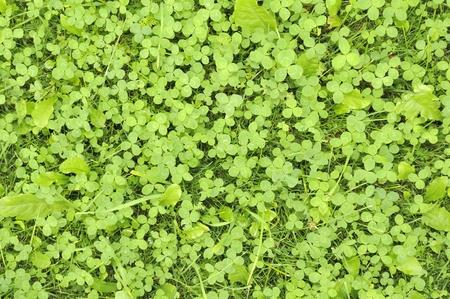 Green Shamrock Leaves Stock Photo - 11804992