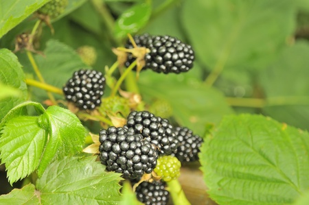 bramble: Blackberries Growing on Bush