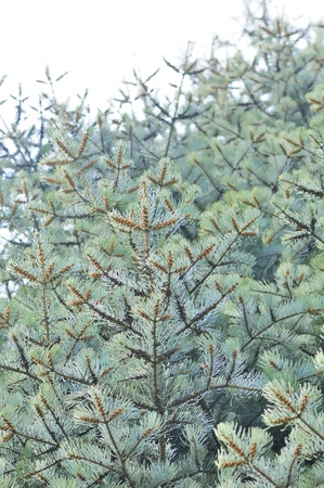 alba: Silver Fir Tree Stock Photo