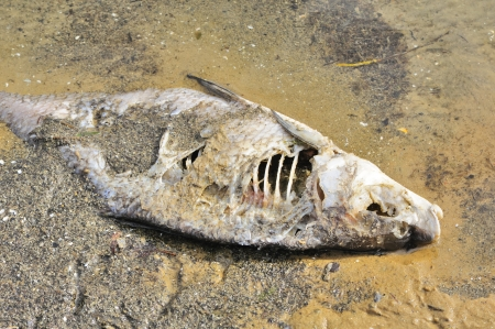 dead fish: Dead Fish (Bream) on River Shore Stock Photo