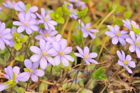 hepatica: Pink Hepatica Nobilis (Liverleaf) Flowers in Early Spring