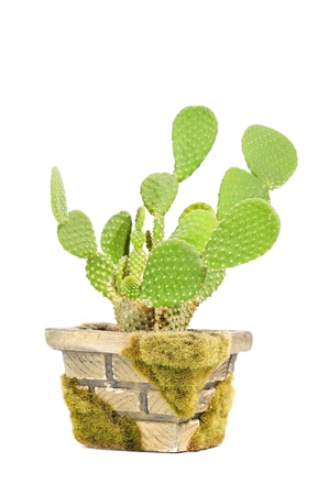 potted: Opuntia Microdasys (Bunny Ears Cactus) in Pot Isolated on White Background Stock Photo