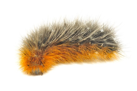 Crawling Hairy Caterpillar Close-up Isolated on White Background Stock Photo - 11805428