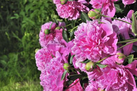 ornamental bush: Beautiful Pink Peony Bush Growing in the Garden