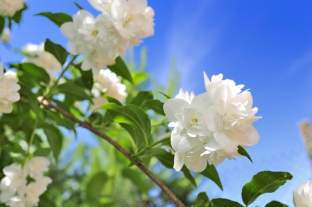 Beautiful White Jasmine Flowers on Blue Sky Background photo