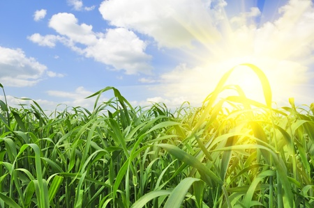 sun rising: Bright Summer Sun Rising in Blue Sky over Green Grass Field