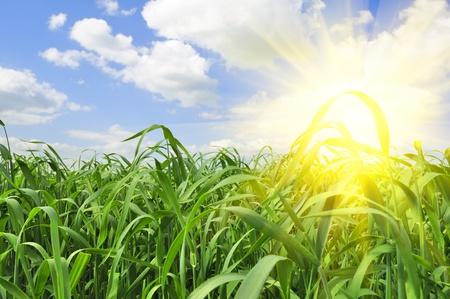 rising of sun: El aumento de brillante sol de verano en el cielo azul sobre campo de hierba verde