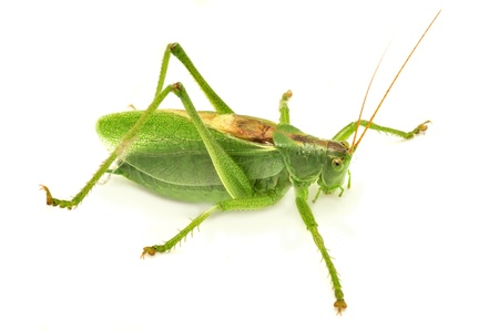 Green Grasshopper Isolated on White Background photo