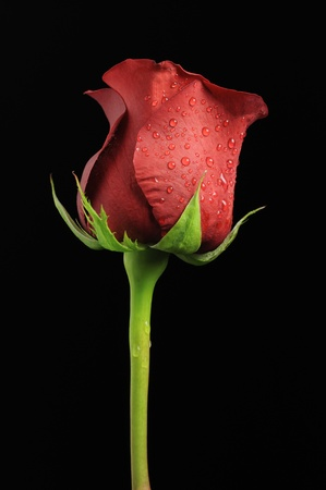 Beautiful Red Rose with Water Drops on Black Background