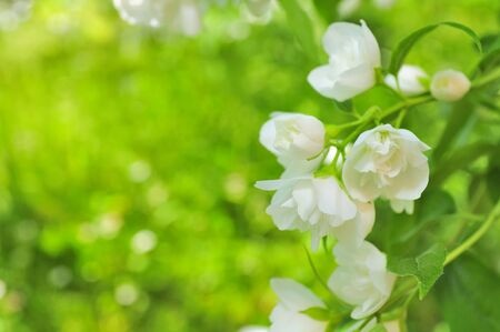 philadelphus: Beautiful White Double Flowering  Philadelphus (Mock Orange) on Shrub in Summer Stock Photo