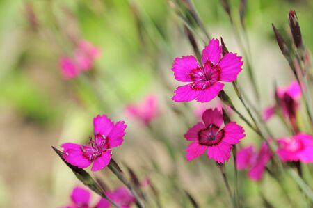 Dianthus Deltoides (Maiden Pink) Flowers