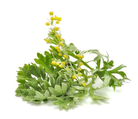 ajenjo: Ajenjo con flores aisladas sobre fondo blanco Foto de archivo