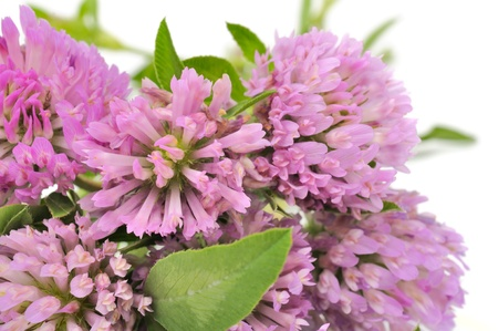Bouquet of Red Clover Flowers Stock Photo - 11813358