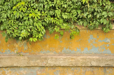 green wall: Green Virginia Creeper (Five-Leaved Ivy) on Old Concrete Wall Stock Photo